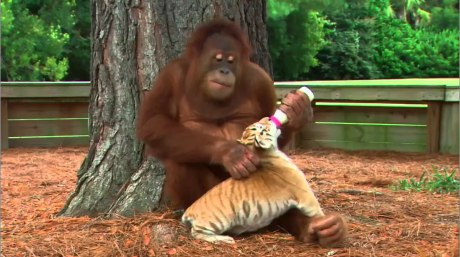 An Orangutan Babysits Tiger Cubs And It's Even Cuter Than You Can Imagine